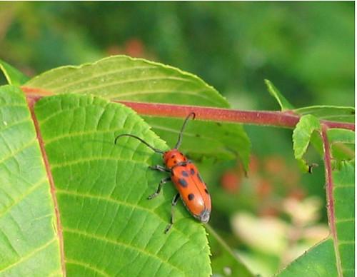 Red Milkweed Beetle, Tetraopes tetraopthalmus