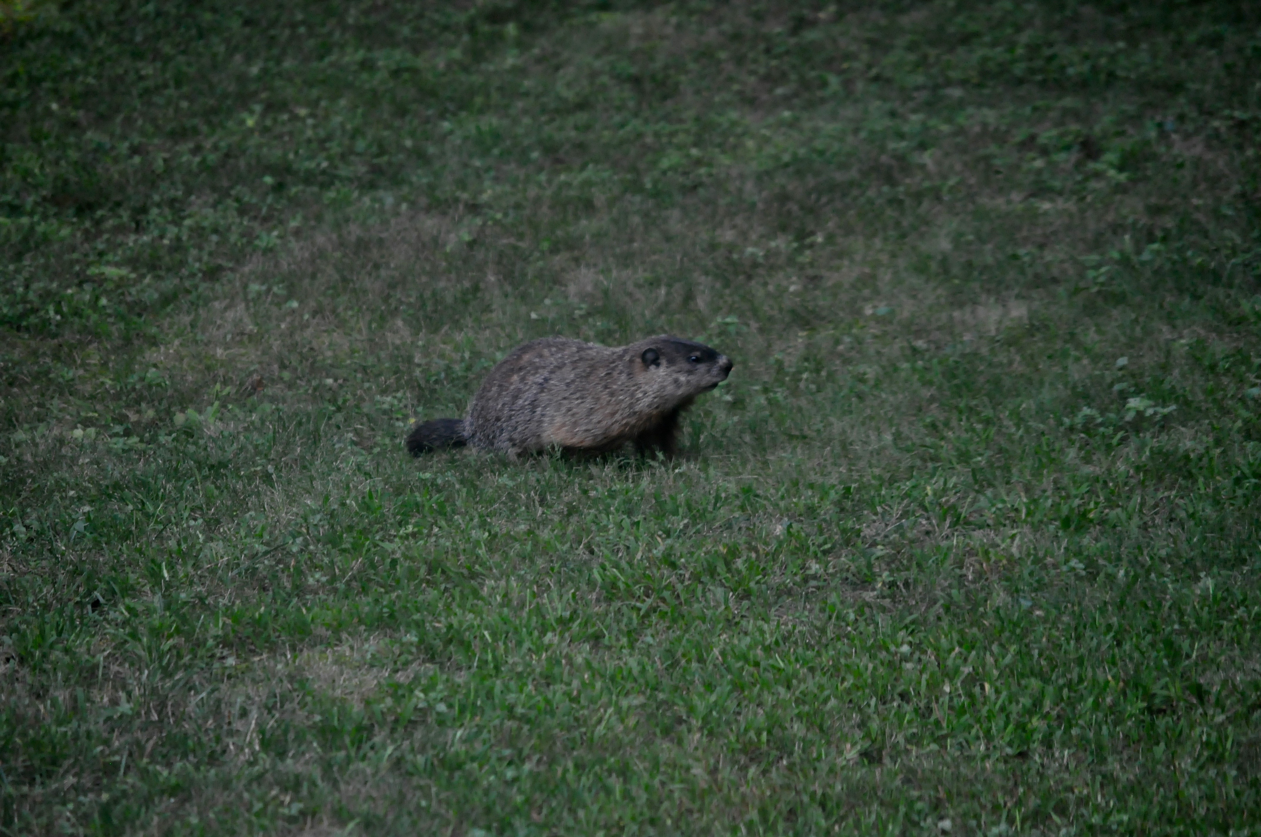 What is this?  Is it a gopher?
