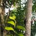 Pic de Malherbe Crimson-crested Woodpecker 3219.jpg by Zoizeaux de Gabriel