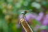 Dragonfly by Phet Live