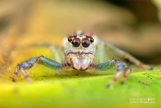 Jumping spider (Asaracus sp.) - DSC_4411