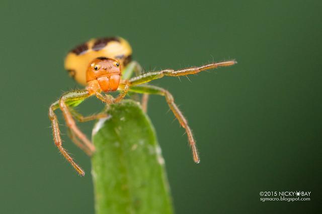 Crab spider (Thomisidae) - DSC_4224