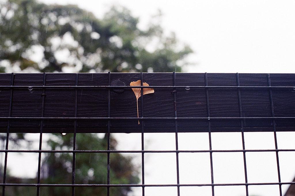 銀杏 豊国神社 嚴島(Itsuku-shima)広島 Hiroshima 2015/08/31 在一個柵欄上卡著一片銀杏,可是我抬頭看周圍沒有銀杏樹,不知道是從哪裡飄過來的,或是有人放的 ...  Nikon FM2 / 50mm Kodak UltraMax ISO400 Photo by Toomore