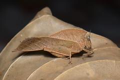 Dead-leaf Grasshopper (Chorotypus sp.)