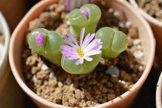 DSC_0351 Conophytum(=Ophthalmophyllum) lydiae f.harmoepense