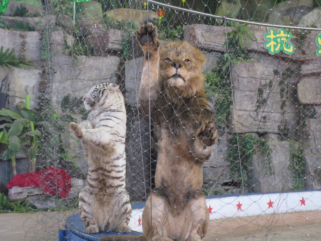 The tiger and lion at Hangzhou Safari Park, China February 2011