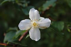 Saururaceae