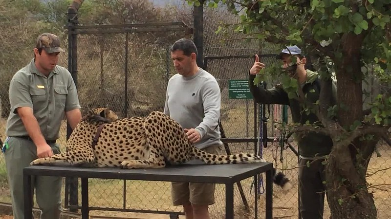 Petting a wild cheetah at Moholoholo Rehabilitation Centre.