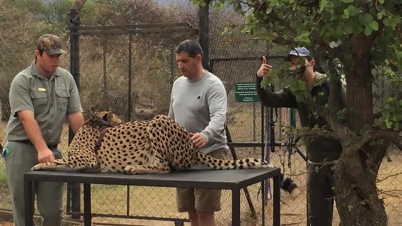 Petting a wild cheetah at Moholoholo Rehabilitation Centre.