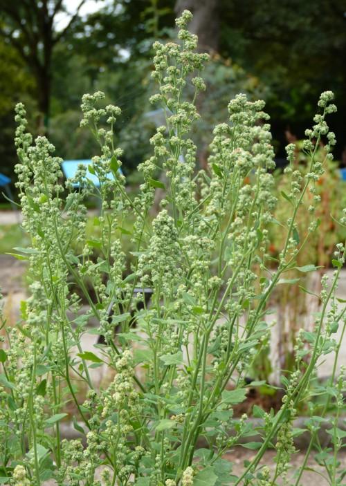 Chenopodium opulifolium 22699619448_bfc59c3abd_o