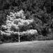 Inniswood tree study
