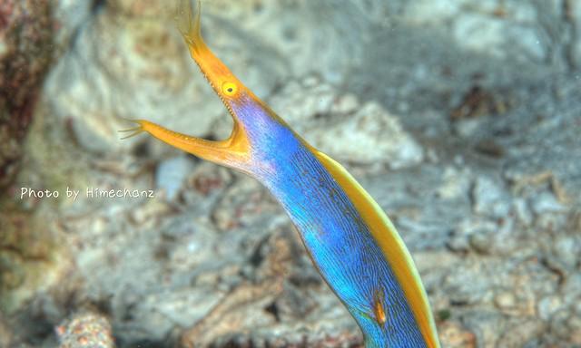 ハナヒゲウツボ若魚さん。色がまだ薄い。