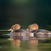Hooded Merganser - females by FollowingNature