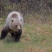 Grizzly Bear by ashockenberry