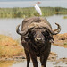 Small photo of Cattle egret on African buffalo