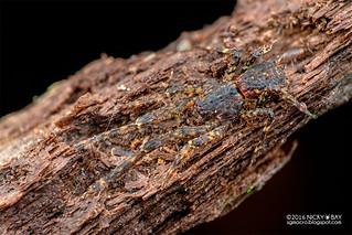 Crab spider (Borboropactus sp.) - DSC_6137