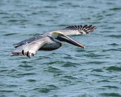 flying Brown Pelican