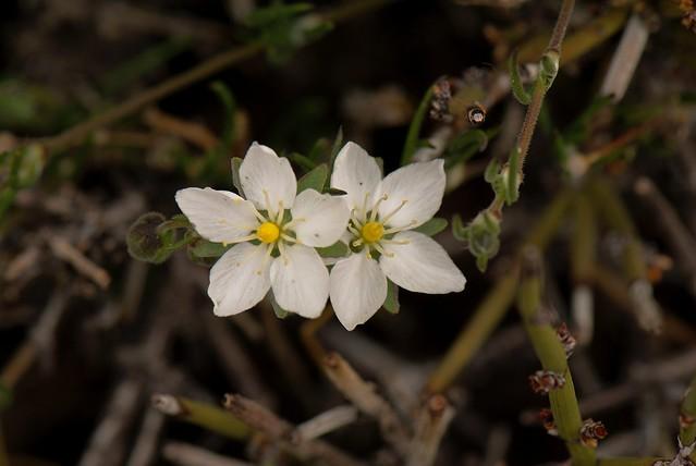 Flor del Altiplano. Spergularia spp. Toconce. Antofagasta. Chile.