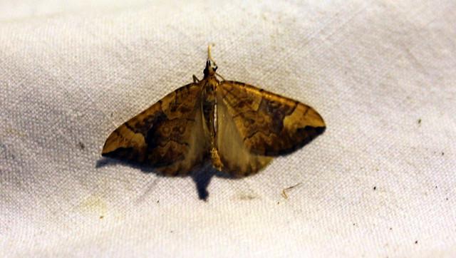 Papillons nocturnes août 2015