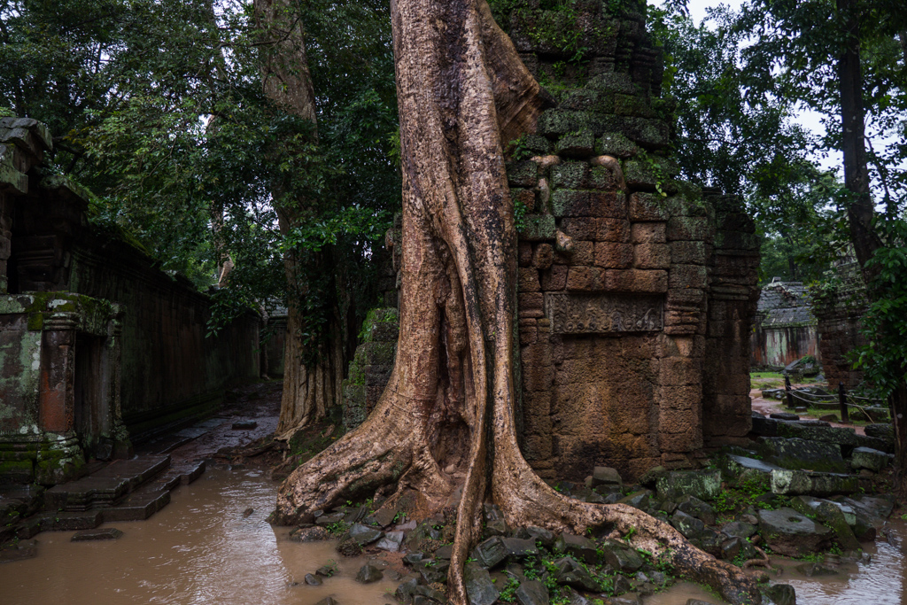 Ta Prohm (Tomb Raider Temple) tree grows through at Angkor Wat in Siem Reap, Cambodia