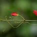 Flor de maracujá-do-mato (Passiflora sp.)