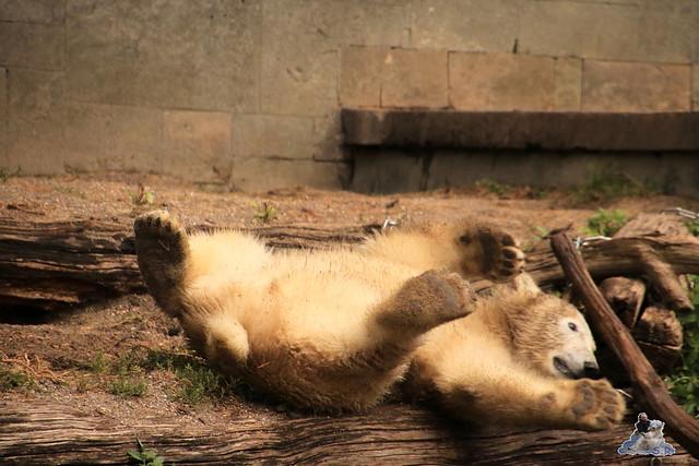 Eisbär Fiete im Zoo Rostock 06.09.2015  0174