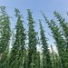 Small photo of Harvesting hops at Aroostook Hops