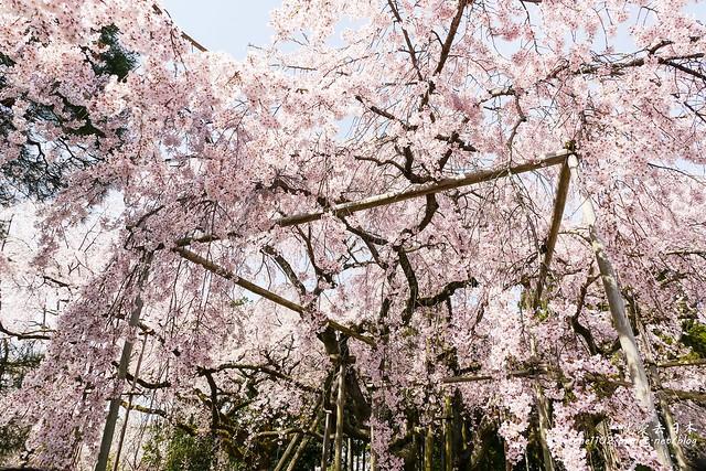 0402D8京都醍醐寺-1160279