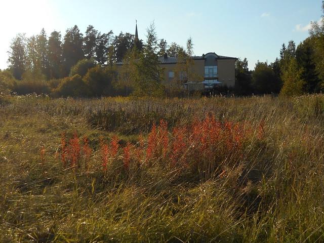 Niittynäkymiä syksyllä; maitohorsmaruskaa auringon paisteessa 11.9.2015 Espoo Leppäsilta
