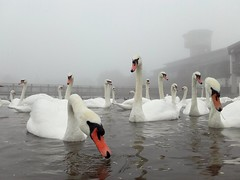 Foggy swans by James Lees Photography