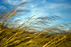 Grain in the wind by Fabio Cafà