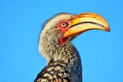 DSC_1588 Hornbill 3 Kruger SA