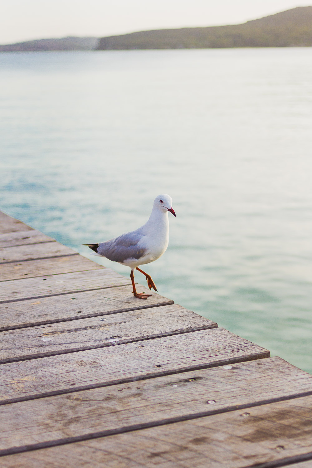 seagull on the wooden jetty manly at sunset