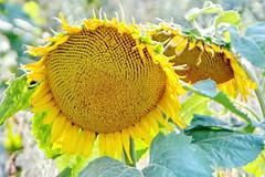 Sunshine Field (SUNFLOWERS) 06