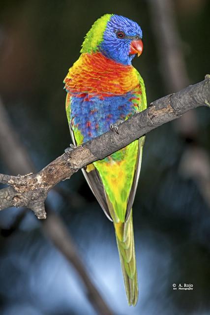 Loris arco iris