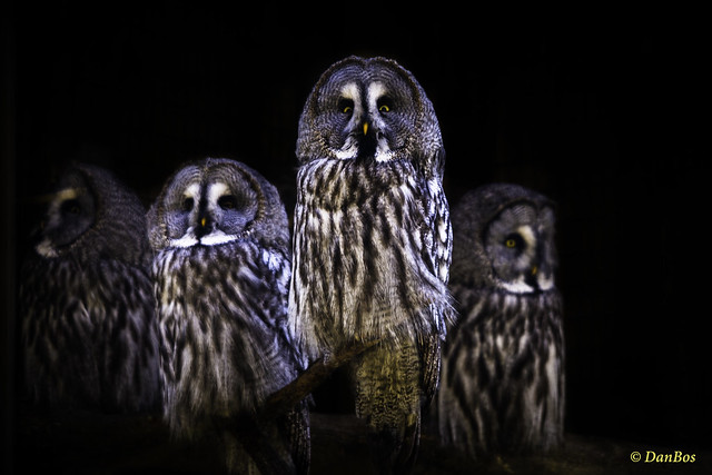 Great Gray Owl family waiting for action