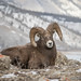 Bighorn Sheep by Turk Images