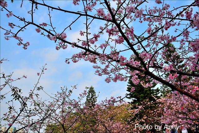 麗池櫻花20
