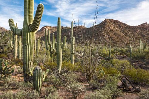 arizona carnegieagigantea cylindropuntiaacanthocarpa fouquieriasplendens opuntia pimacounty saguaro saguaronationalpark saguarowest sonorandesert tucsonmountaindistrict usa unitedstates buckhorncholla cactus cholla desert landscape nationalpark ocotillo outdoor plant pricklypear sonoran
