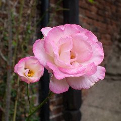 Rose at Stable Court