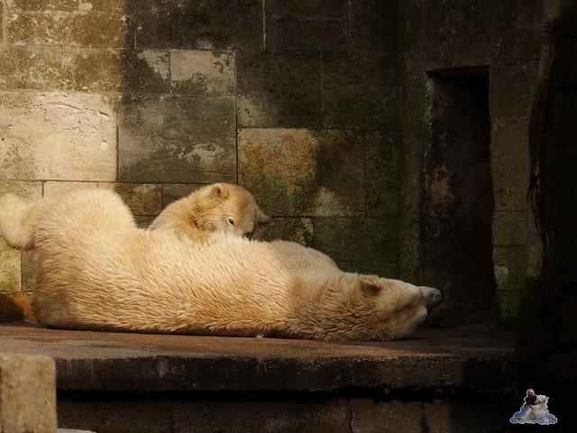 Eisbär Fiete im Zoo Rostock 15.08.2015 Teil 3 035