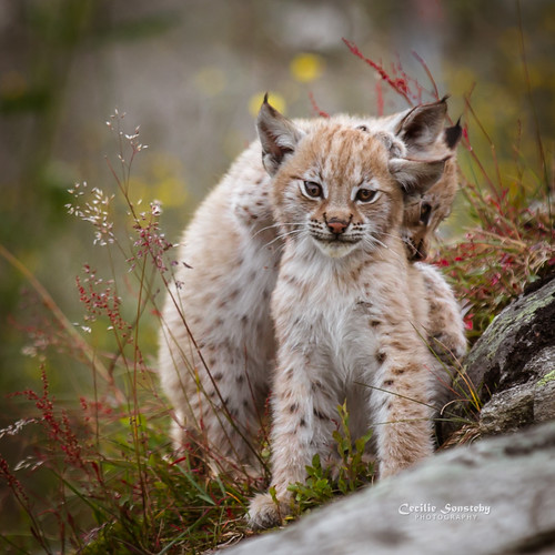 Lynx cubs playing