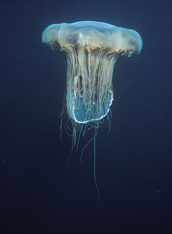 Lion's mane jellyfish, or hair jelly, Cyanea capillata, the largest know jellyfish in Newfoundland, Canada.