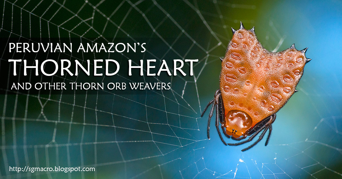 Peruvian Amazon's Thorned Heart and other Thorn Orb Weavers