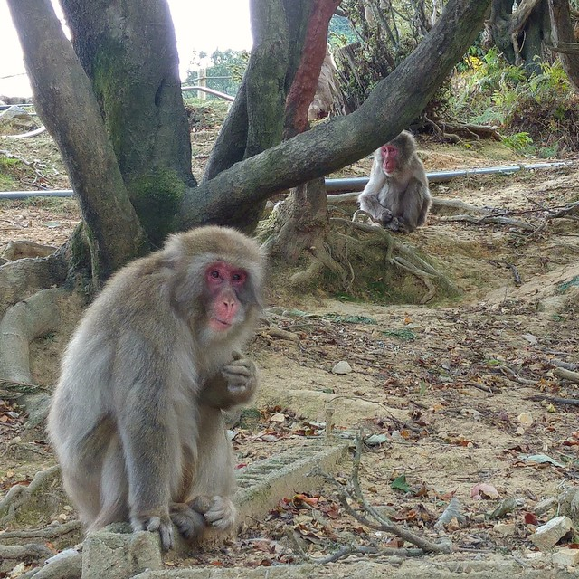 Mt Iwatayama Japanese macaques snow monkeys