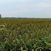 Tunica - Mississippi Sorghum Field