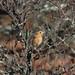 Le Conte's Sparrow by ann.morrison75