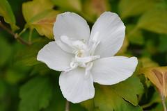 Dallas - White Flower, White Spider