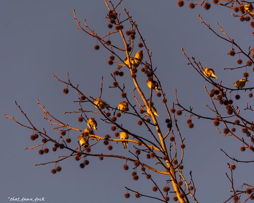 nature birds sunset spurs tree
