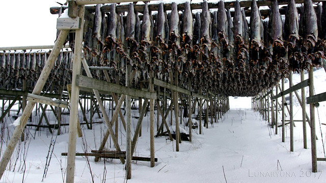 row after row of Lofoten Gold